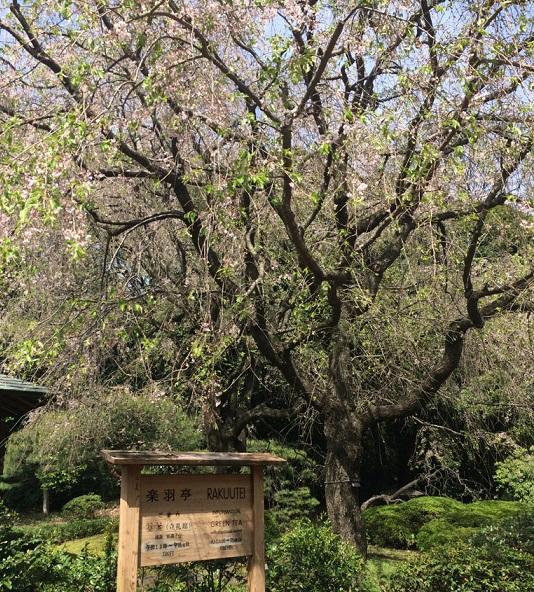 17枝垂桜.jpg