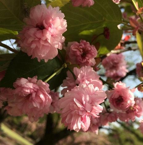 30梅護寺数珠掛桜.jpg