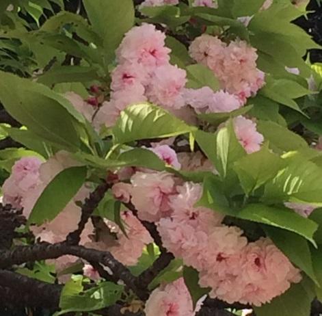 31兼六園菊桜.jpg