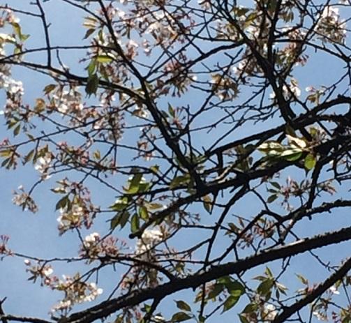 34霞桜.jpg