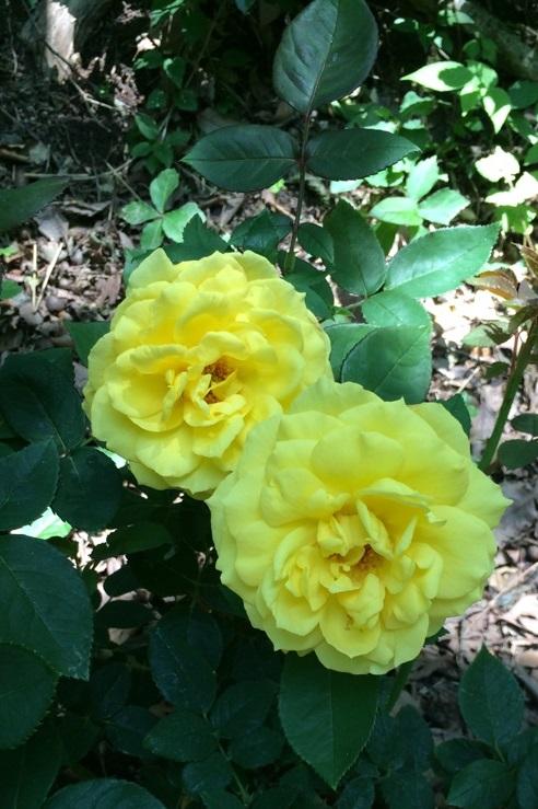 薔薇10.jpg