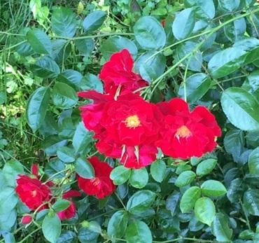 薔薇12.jpg