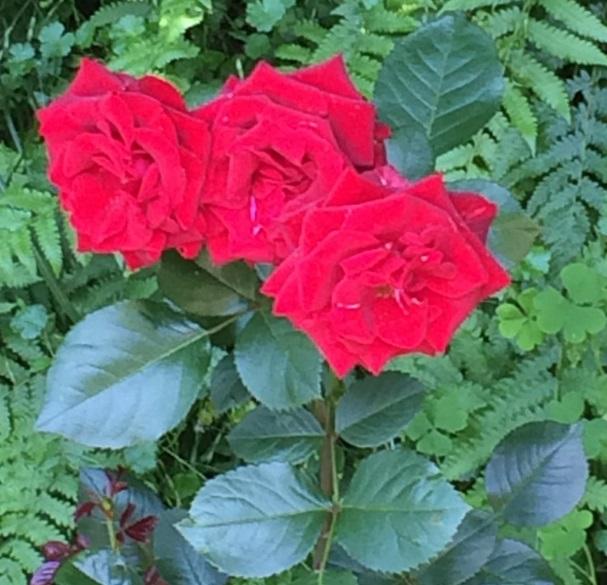 薔薇13.jpg