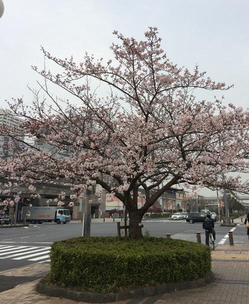 近所の桜3.jpg