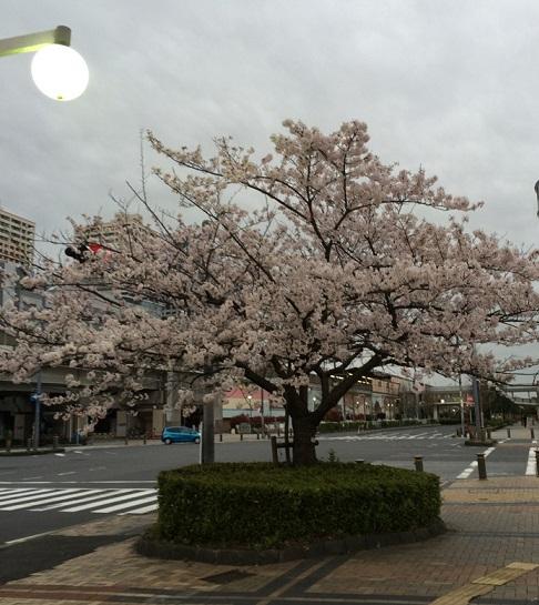 近所の桜5.jpg