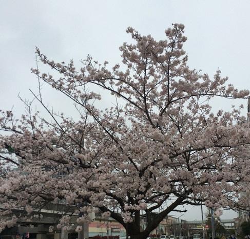 近所の桜6.jpg