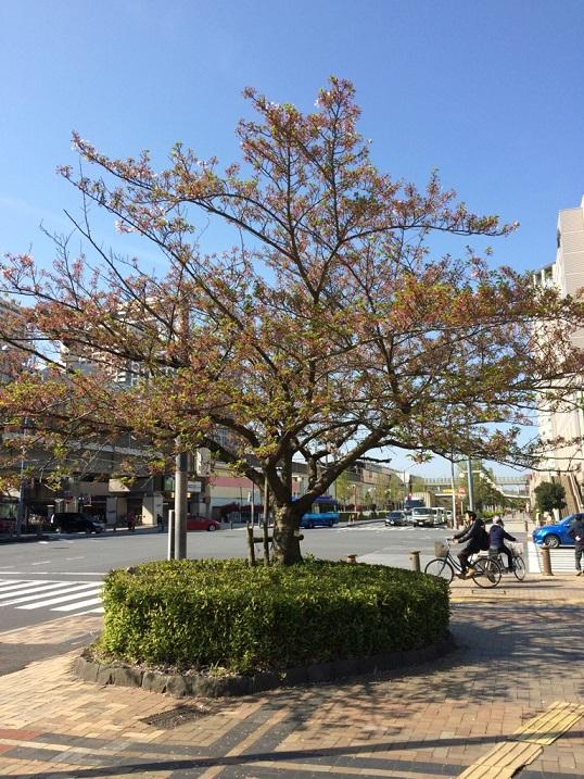近所の桜8.jpg